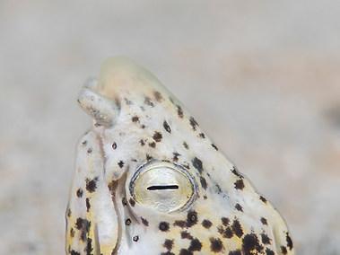 Marbled Snake Eel