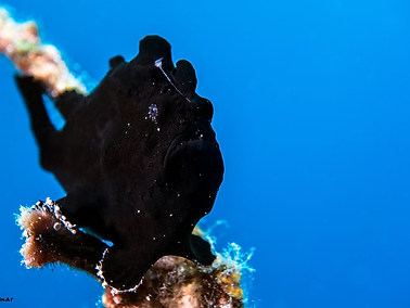 Giant Frogfish - Juvenile