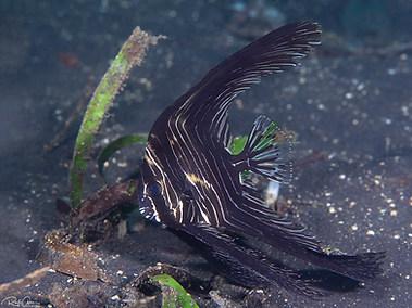 Humpback (or Zebra) Batfish - Juvenile