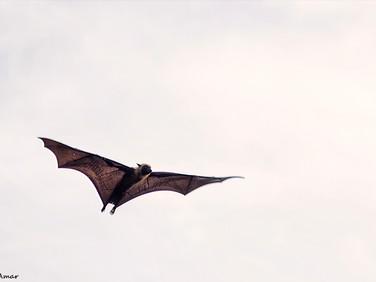 bat's
