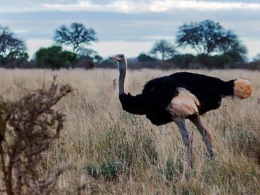 Common Ostrich - male -