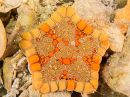 Common Biscuit Star