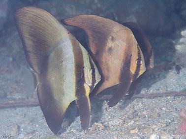 Dusky Batfish - Juvenile