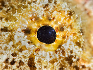 Commerson's Frogfish - Eye