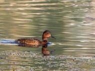 Ferruginous Duck - Juvenile