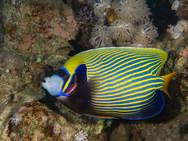 Emperor Angelfish - With Cleaner Shrimp