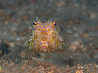 Thorny back Cowfish