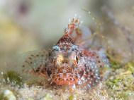 Madeira Scorpionfish