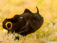 Lembeh Frogfish - Juvenile