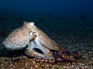 Big Red (Day) Octopus