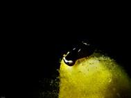 Yellow-lip Shield Slug