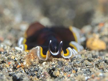 One-tree Island Flatworm