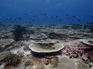Brush Coral