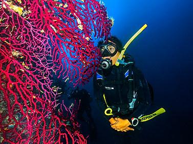 Violescent Sea-whip