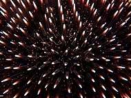 Atlantic Purple Sea Urchin - Paracentrot