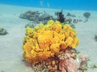 Salad Coral