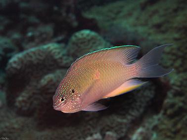 Peacock Damsel