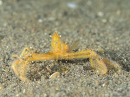 Yellow Spider Crab