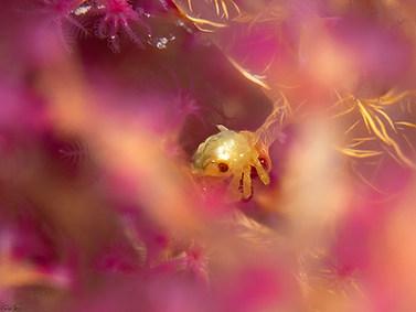 Soft Coral Crab - Juvenile