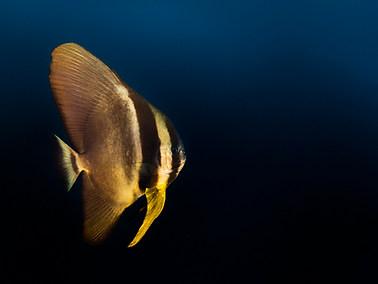 Golden Spadefish - Juvenile