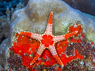 Noduled Sea Star - Fromia nodosa.jpg