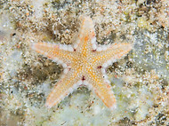 Comb sea star - Astropecten polyacanthus