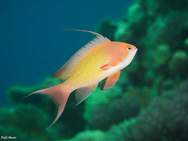 Sea Goldie - Male