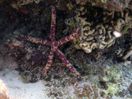 Spotted Linckia