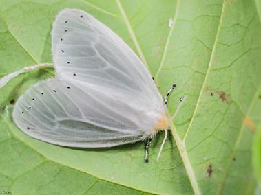 Whiteflies - Aleyrodidae