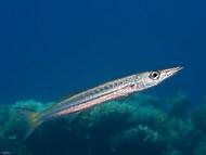 Yellowtail Barracuda