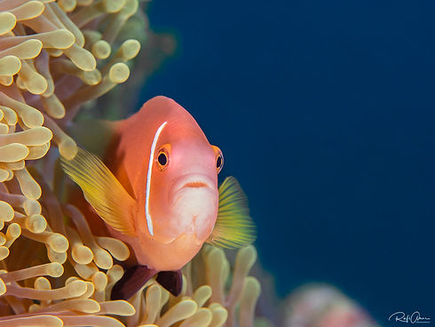 Maldives Blackfin Anemonefish - Amphipri