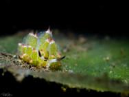 Little Leaf-sheep Nudibranch (C)