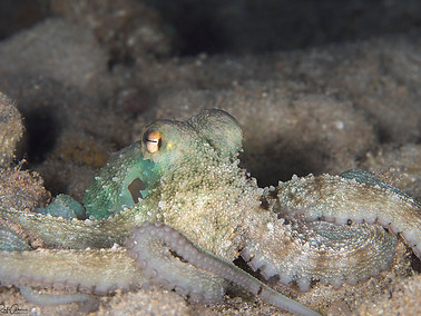 Long-arm Octopus