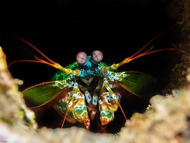 Green Peacock Mantis Shrimp