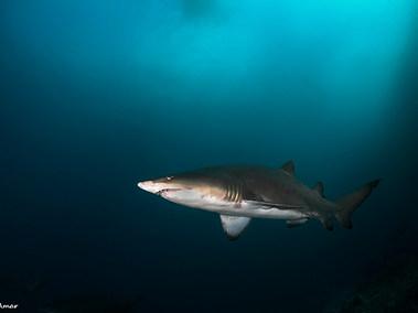 Sand Tiger (Grey Nurse) Shark