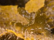 Crosslandia viridis
