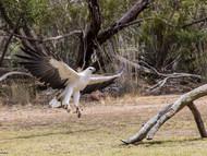 White–bellied Sea-eagle