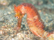 Spotted Seahorse