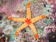Noduled Sea Star