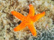 Mediterranean Red Sea Star - Juvenile