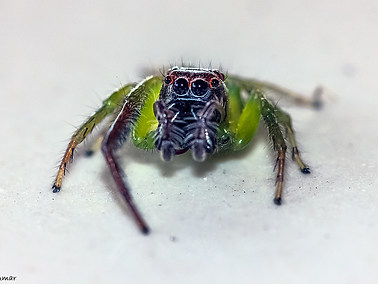 Green Jumping Spider - Male