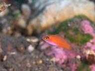 Pink Flasher - Juvenile