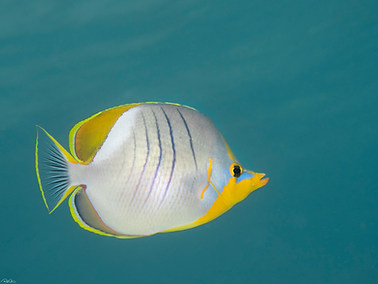 Yellowhead Butterflyfish