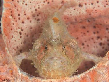 Deep-water Frogfish