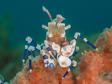 Harlequin Shrimp