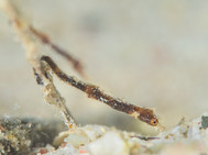 Shortpouch Pygmy Pipehorse