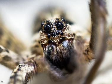 Pantropical Jumping Spider