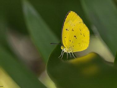 Small Grass-Yellow