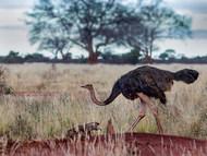 Common Ostrich - Female