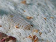 Sea Cucumber Scale Worm